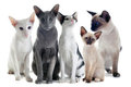 Oriental and siamese cats Royalty Free Stock Photo