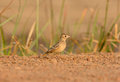 Oriental skylark alauda gulgula beautiful standing on ground Royalty Free Stock Photography