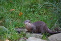 Oriental small clawed otter aonyx cinerea on grass bank Stock Image