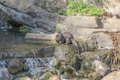 Oriental small clawed otter aonyx cinerea sitting on a stone in the water Royalty Free Stock Image