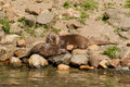 Oriental small clawed otter couple on a rocky shore Royalty Free Stock Image