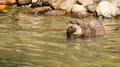 Oriental small clawed otter foraging is in water Royalty Free Stock Images