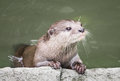 Oriental small clawed otter the smallest species in the world Stock Images