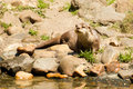 Oriental small clawed otter standing on a rocky shore Royalty Free Stock Photos