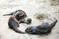 Oriental small clawed otters playing Royalty Free Stock Photos