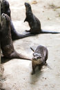 Oriental small clawed otters in zoo Stock Image