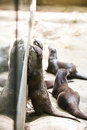 Oriental small clawed otters in zoo Stock Photo
