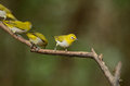 Oriental white eye beautiful zosterops palpebrosus possing on branch Royalty Free Stock Photos