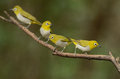 Oriental white eye beautiful zosterops palpebrosus possing on branch Stock Photography