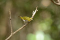 Oriental white eye beautiful zosterops palpebrosus possing on branch Stock Photos
