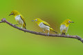 Oriental white eye bird the three sitting on branch on green background Royalty Free Stock Image
