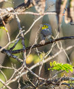 Oriente warbler singing on a branch an teretistris fornsi sings while perched in the island of cuba Stock Photos