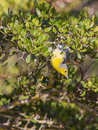 Oriente warbler upside down an teretistris fornsi shows it s climbing skills hanging from a branch in the island of cuba Royalty Free Stock Image