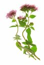 Origanum vulgare flowering oregano isolated in front of white background Royalty Free Stock Image