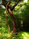 Original and beautiful tree. Leaning tree in the forest.