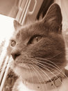Original photo of a muzzle of a cat in sepia beautiful collar who looks window Stock Photography
