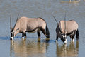 Orix gemsbok drinking water okaukeujo waterhole etosha national park namibia Royalty Free Stock Image