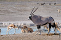Orix (Gemsbok) and Springbok Royalty Free Stock Photos
