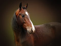 Orlov trotter thoroughbred bay horse Stock Image