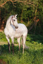 Orlov trotter white horse in the forest Stock Photo