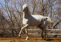 Orlov trotter white shows off breed mare effectively presents itself viewer Stock Photo