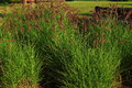 Ornament grass with flowers in sunny morning Royalty Free Stock Images
