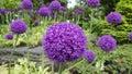 Ornamental allium flower Stock Photography