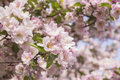 Ornamental apple flowering foliage tree in full of spring flowers the morning sun Stock Image