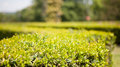 Ornamental boxwood Royalty Free Stock Photography