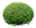 Ornamental bush Royalty Free Stock Photo