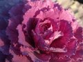 Ornamental Cabbage Royalty Free Stock Photos