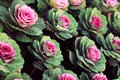 Ornamental cabbage in the autumn garden Stock Image