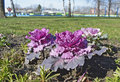 Ornamental cabbage in bloom in the winter Royalty Free Stock Photo