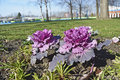 Ornamental cabbage in bloom in the winter Royalty Free Stock Photography