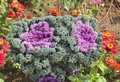 Ornamental cabbage Kale in a garden Royalty Free Stock Photo