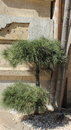 Ornamental conifer planted near the building Stock Photo
