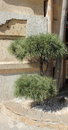 Ornamental conifer planted near the building Stock Photos
