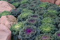 Ornamental cut kale in garden Stock Image