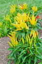 Ornamental decorative peppers yellow pepper plants in a garden Royalty Free Stock Images