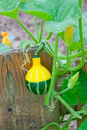 Ornamental decorative pumpkin green yellow growing in a garden selective focus Royalty Free Stock Images