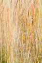 Ornamental Grass Background Royalty Free Stock Photography