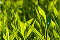 Ornamental grass green in springtime Royalty Free Stock Photos