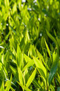 Ornamental grass green in springtime Stock Image