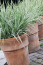 Ornamental grass perennial in to the pot shrub potted ceramic on garden terrace Royalty Free Stock Photo
