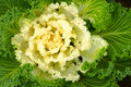Ornamental green cabbage Stock Images