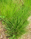 Ornamental green grass generic landscape arrangement with lush Royalty Free Stock Photography