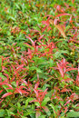 Ornamental green shrubs with young red leaves at the top decorating the surrounding of commercial building Stock Photo