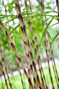 Ornamental Japanese bamboo grass Royalty Free Stock Photo