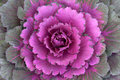 Ornamental Kale Horizontal Royalty Free Stock Photos