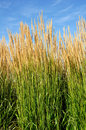 Ornamental Karl Foerster Feather Reed Grass Stock Photography